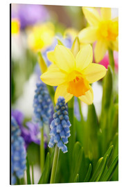 Aluminium print  Daffodils, Easter flowers, Easter bells, grape hyacinths, onion plants - Sweet INK