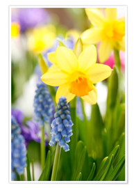 Premium poster  Daffodils, Easter flowers, Easter bells, grape hyacinths, onion plants - Sweet INK