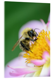 Acrylic print  Honeybee on a dahlia - Andreas Keil