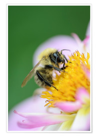 Poster  Honeybee on a dahlia - Andreas Keil