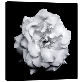 Canvas print  Blossom of a white garden rose - Alaya Gadeh