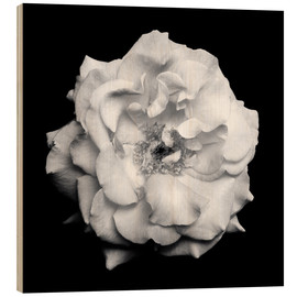 Wood print  Blossom of a white garden rose - Alaya Gadeh