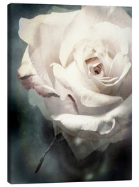 Canvas print  Flower of a white rose - Alaya Gadeh