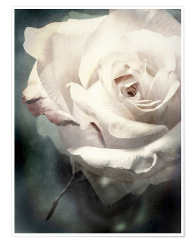 Premium poster Flower of a white rose