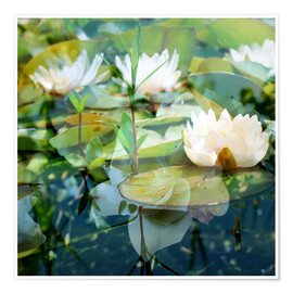 Poster  Montage of white water lilies - Alaya Gadeh