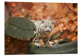 Forex  Snow leopard in the forest - David & Micha Sheldon