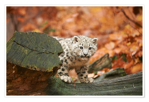 Poster Snow leopard in the forest