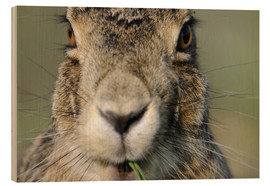 Wood print  Hare in close-up - Ronald Wittek