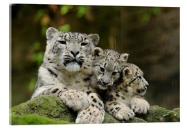 Acrylic print  Mother with pups, Irbisse - David & Micha Sheldon