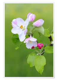 Poster Apple blossom, fruit growing