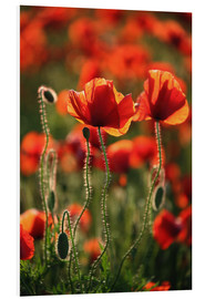 Foam board print  Poppy field - Catharina Lux