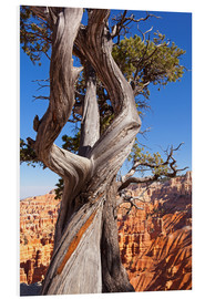 Foam board print  Pine in Bryce Canyon National Park, United States - Catharina Lux