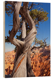Wood  Pine in Bryce Canyon National Park, United States - Catharina Lux
