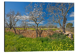Aluminium print  Almond trees and stone walls - Chris Seba