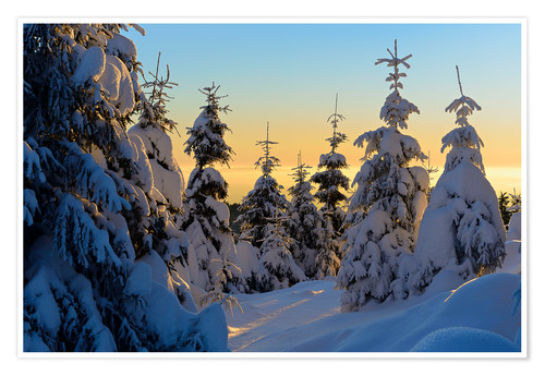 Poster Snow-covered spruce trees at sunrise on Wurmberg in the Harz