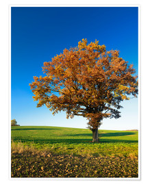 Poster Lonely oak tree in autumn