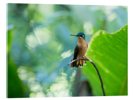 Acrylic print  Hummingbird female on a branch - Alex Saberi
