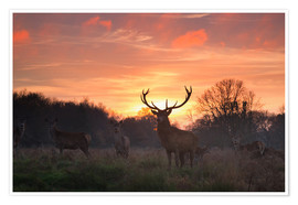 Poster  A Red deer stag, Cervus elaphus, standing in London's Richmond Park. - Alex Saberi