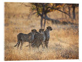 Acrylic print  Cheetah group on the hunt - Alex Saberi