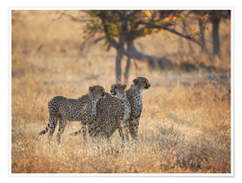 Poster  A group of Cheetah, Acinonyx jubatus, on the lookout for a nearby leopard in Namibia's Etosha N - Alex Saberi