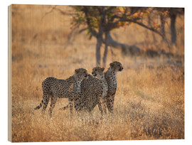 Wood print  Cheetah group on the hunt - Alex Saberi
