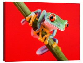 Canvas print  Tree frog on red