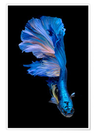 Premium poster  magnificent blue fish