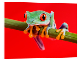 Acrylic print  Rotaugenlaubfrosch to red