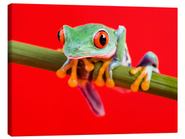 Canvas print  Rotaugenlaubfrosch to red