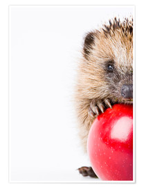Premium poster  Little hedgehog