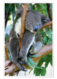 Premium poster  Koala at closing time