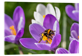 Acrylic print  Spring flower crocus and bumble-bee - Remco Gielen