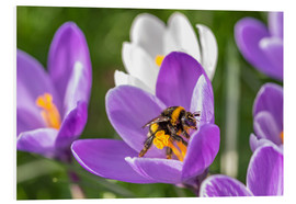 Forex  Spring flower crocus and bumble-bee - Remco Gielen
