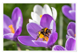 Premium poster Spring flower crocus and bumble-bee