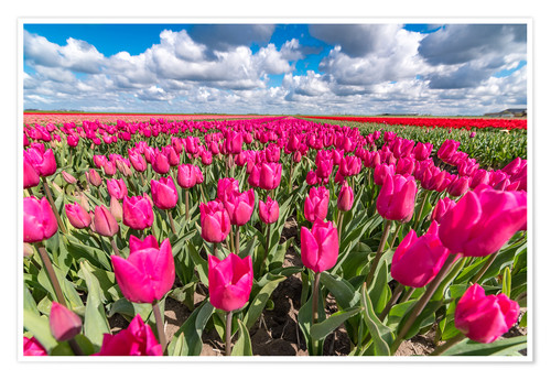 Premium poster Beautiful dutch Field of pink tulips