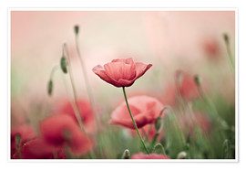 Poster   Poppies  - Nailia Schwarz