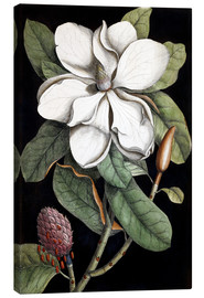 Canvas print  Laurel Tree - Mark Catesby