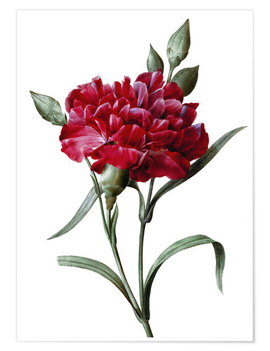 Premium poster A Dark Red Carnation