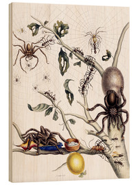 Wood  Various Arachnids from South America - Maria Sibylla Merian