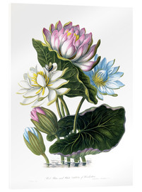 Acrylic print  Red, Blue, and White Lotus, of Hindostan - James Forbes