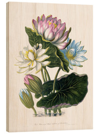 Wood print  Red, Blue, and White Lotus, of Hindostan - James Forbes