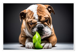 Premium poster English bulldog playful