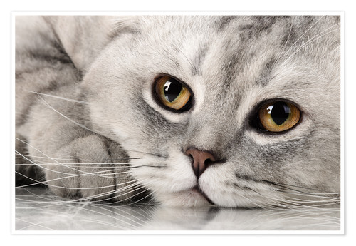 Premium poster fluffy gray adult cat