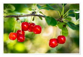 Premium poster  Ripe cherries - Michael Interisano