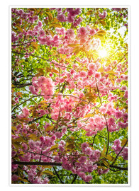 Premium poster  Japanese decorative cherry - Steffen Gierok