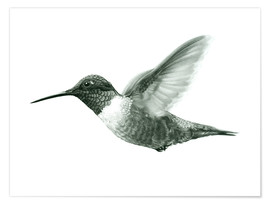 Premium poster Ruby Throated Hummingbird Sketch