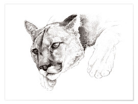 Poster  Sketch Of A Captived Mountain Lion - Ashley Verkamp