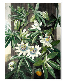 Premium poster The blue passion flower (Passiflora caerulea)