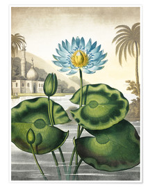 Premium poster The blue Egyptian water-lily