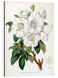 Aluminium print  Rhododendron Countess of Haddington - Miss Sowerby